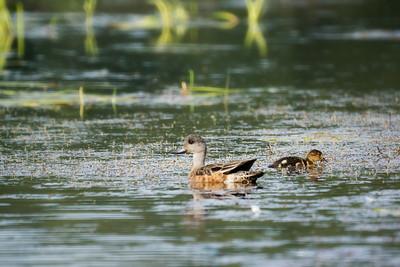 Duck, Mom