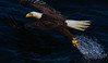 An Eagle pulls a fish out the water next to our large commercial fishing boat, the Aleutian Ballad.