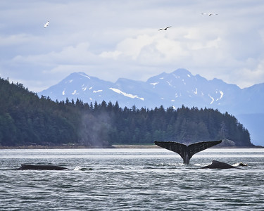 Whales in Juneau