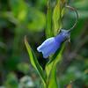 A Bluebell aka Chiming Bells (mertensia paniculata)<br /> near Majestic Valley Lodge.