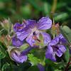 Wild Geranium (geranium erianthum)<br /> near Majestic Valley Lodge.