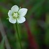 Grass of Parnassus (parnassia palustris), near Majestic Valley Lodge- Majestic Valley.