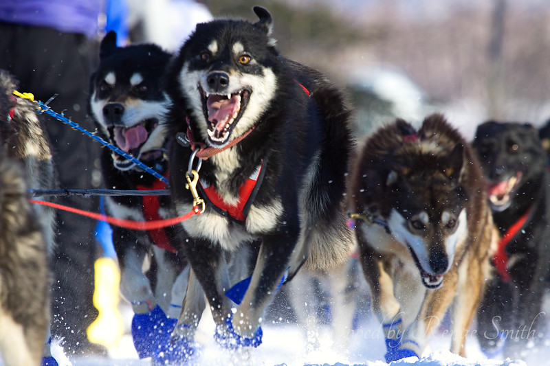 Cresting the Hill<br /> <br /> The dogs seemed undaunted by a long hill near the beginning of the race.