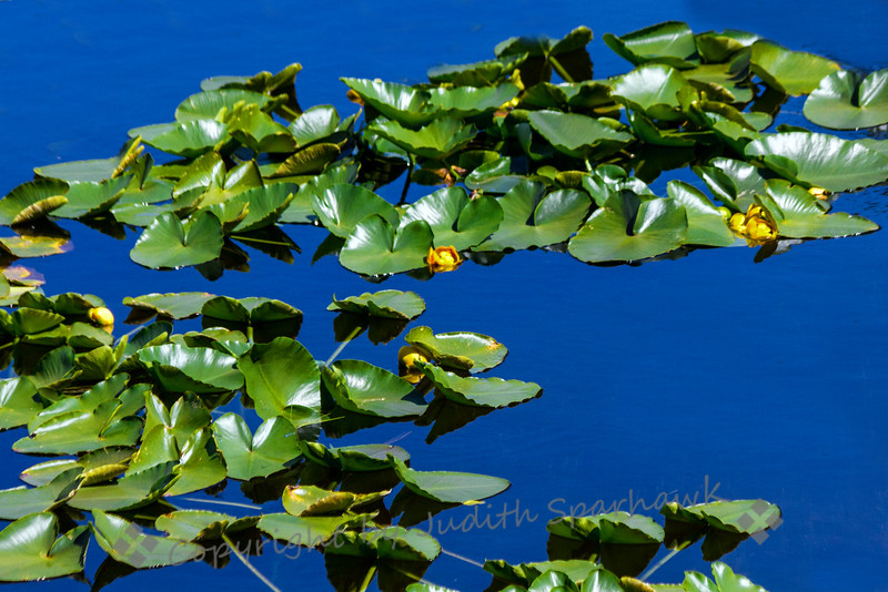 Indian Pond Lilies