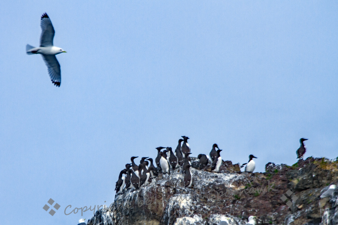 Common Murres on Gull Island