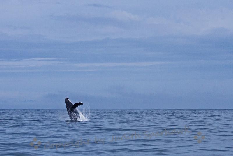 Breaching Humpbacked Whale