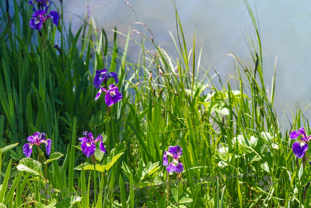 Wild Iris by the Lake