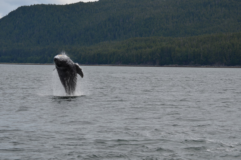 "This Whale ""breached"" to the right of our boat..."