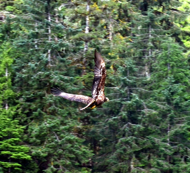 (93)  Baby Eagle in flight.