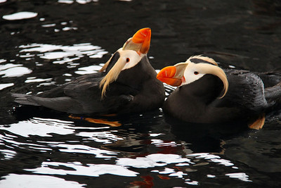 I believe these are Tufted Puffins.  There are actually two types of Puffin birds.