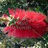 Red bottle brush flower in Albany, Western Australia.