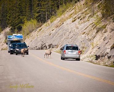 Big horn sheep block traffic on the road to Maligne Lake.