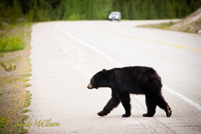A black bear crosses the road with a car in the background.
