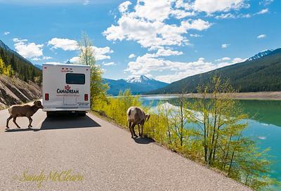 Big horn sheep along the side of Medicine Lake.