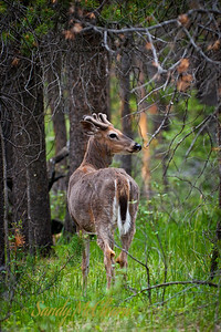 A mule deer in the forest.