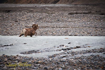 Big horn sheep crosses the Sunwapta the river, as viewed from the Icefields Parkway (Highway 93).