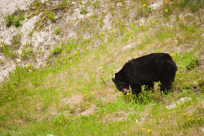 A black bear eats dandilions at a salt lick. I need one of these for my lawn.