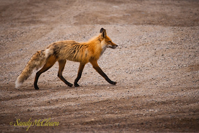 A fox at the base of Old Fort Point.