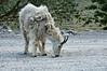 Moutain Goat