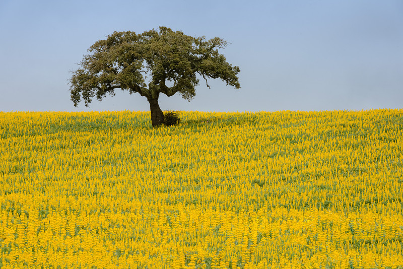 Lonely tree in ALentejo, Portugal