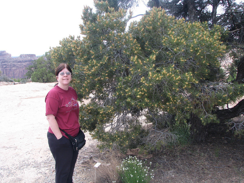 Across the street from the visitor center you can see some of Shafer Trail. My wife poses by a fine looking pinyon pine.