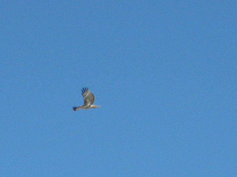 Along the way we spotted this hawk in flight, I was luck to snap this picture.