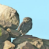 Little Owl - Steenuil