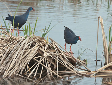 Purple Gallinule - Purperkoet