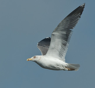 Lesser Black-backed Gull - Kleine Mantelmeeuw