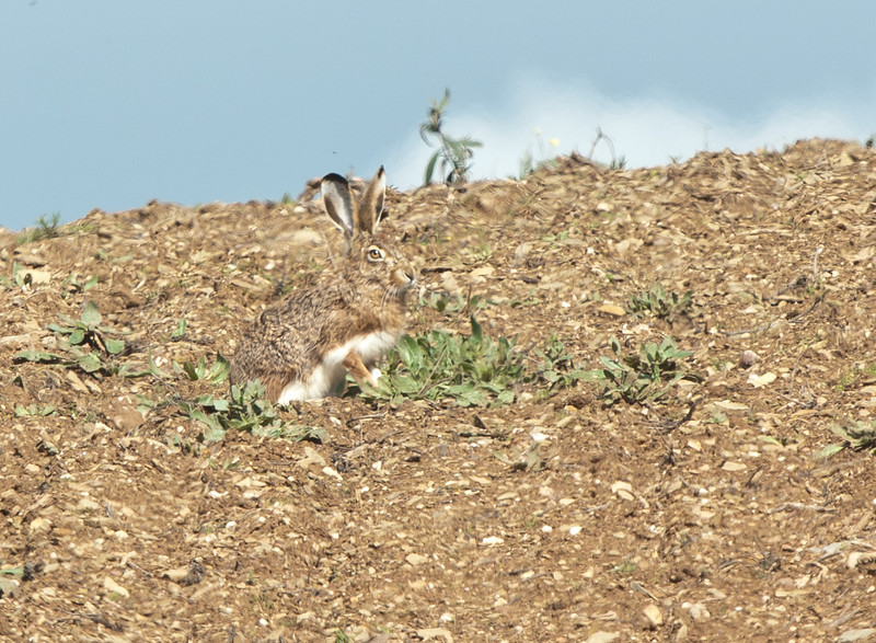 Iberian Hare - Iberische Haas