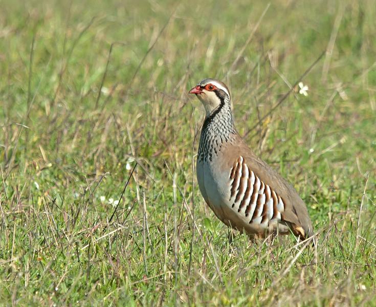 Red-legged Partridge - Rode Patrijs