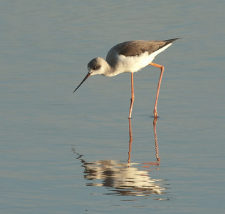 Black-backed Stilt - Steltkluut