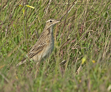 Richard's Pipit - Grote Pieper