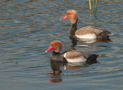 Red-crested Pochard - Krooneend