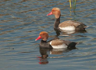 Red-crested Pochard - Krooneend