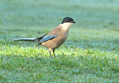 Azure-winged Magpie - Blauwe Ekster