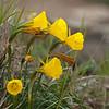Hoop Petticoat Daffodil - Hoepelroknarcis