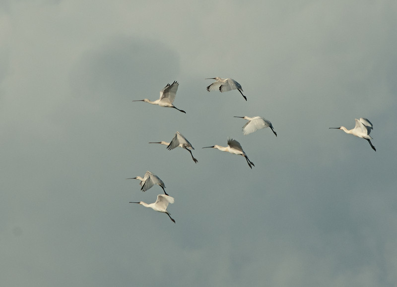 Spoonbill - Lepelaar