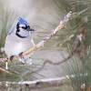 Blue Jay- Algonquin park Canada
