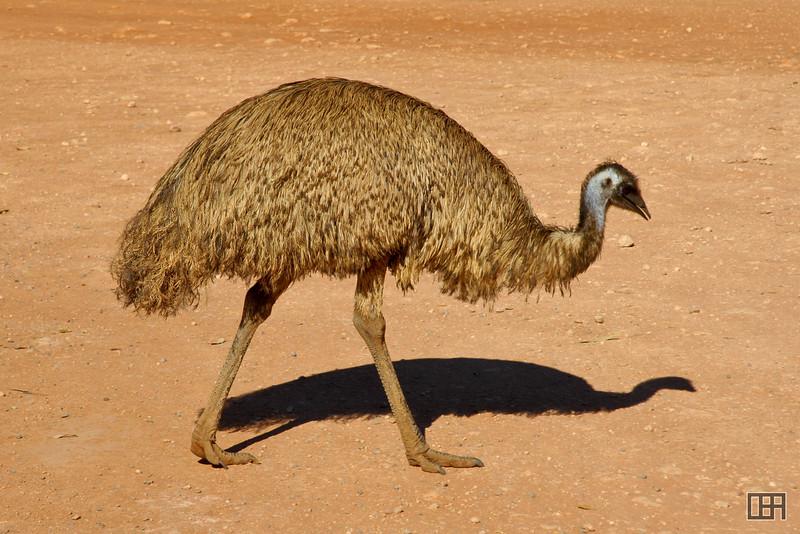 Emu we saw on the way to Uluru