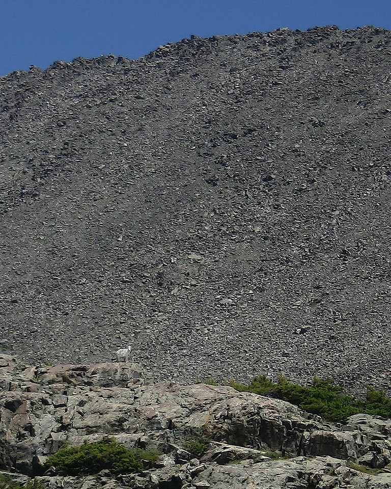 Small white Mountain Goat against big black talus