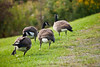 Canada Geese - Allegany State Park (17)