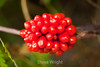 Berries - Allegany State Park (1)