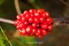 Berries - Allegany State Park (1)