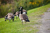 Canada Geese - Allegany State Park (14)