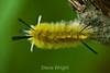 Banded Tussock Moth Caterpillar - Allegany State Park (4)
