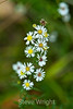 Calico Asters - Allegany State Park (1)
