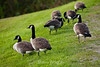 Canada Geese - Allegany State Park (11)