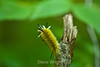 Banded Tussock Moth Caterpillar - Allegany State Park (2)