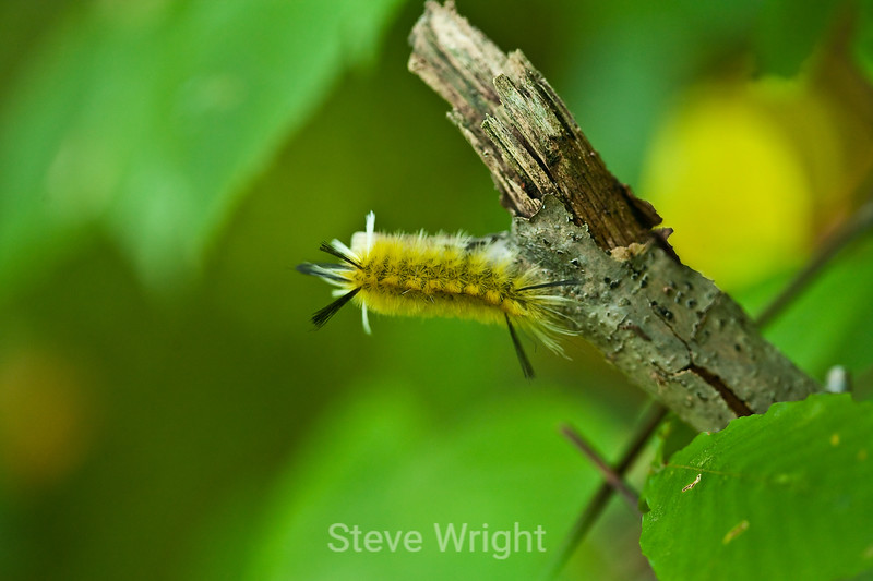 Banded Tussock Moth Caterpillar - Allegany State Park (1)